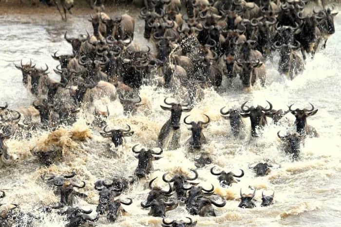 Mara river crossing during the wildebeest migration