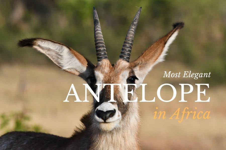 Top 16 most elegant antelope in Africa