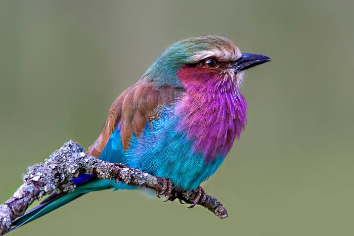 The photogenic lilac-breasted roller is a common sight on safari