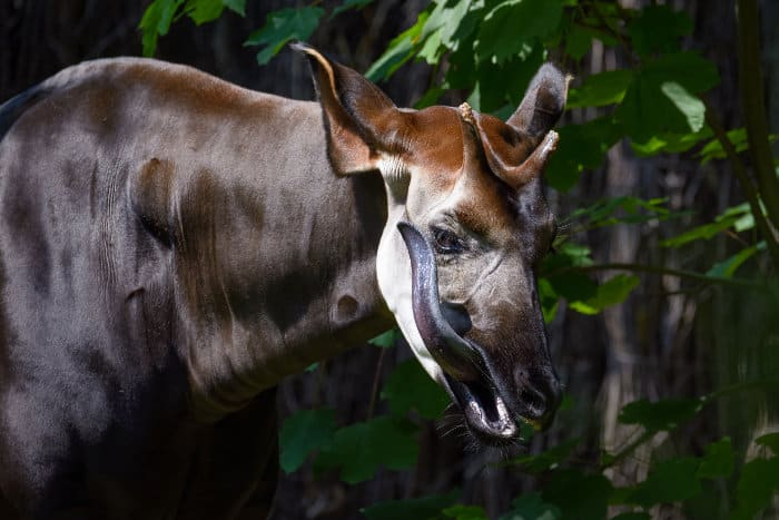 Male okapi licking its face with its extremely long and purple tongue