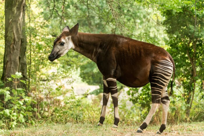 Sideview of an okapi, also known as the forest giraffe