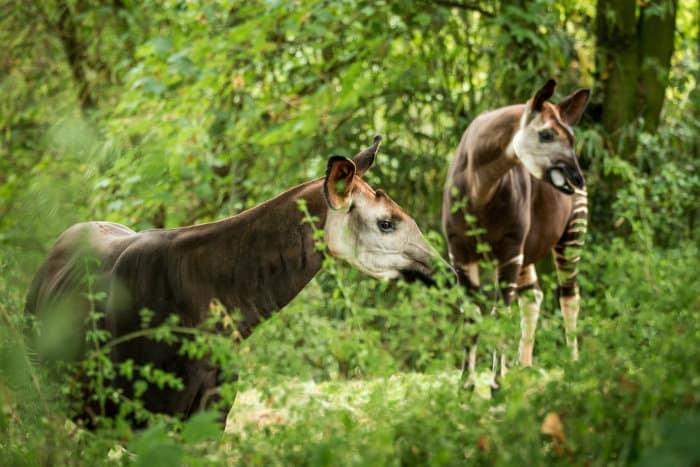 Two okapis (Okapia johnstoni) looking in the same direction