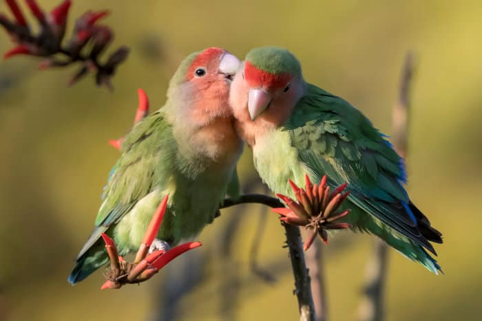 Pair of rosy-faced lovebirds in Namibia
