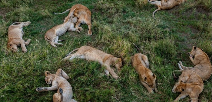 Lions laying in grass at Ruaha National Park