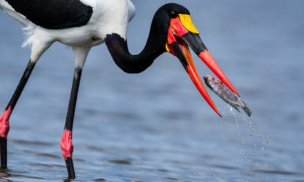 Saddle-billed stork facts: a guide to the bird with no call