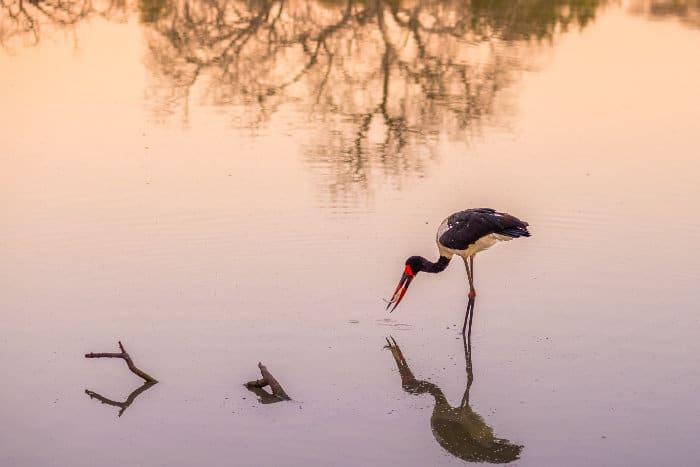 Saddle-billed stork reflection at sunset, in Mapungubwe National Park