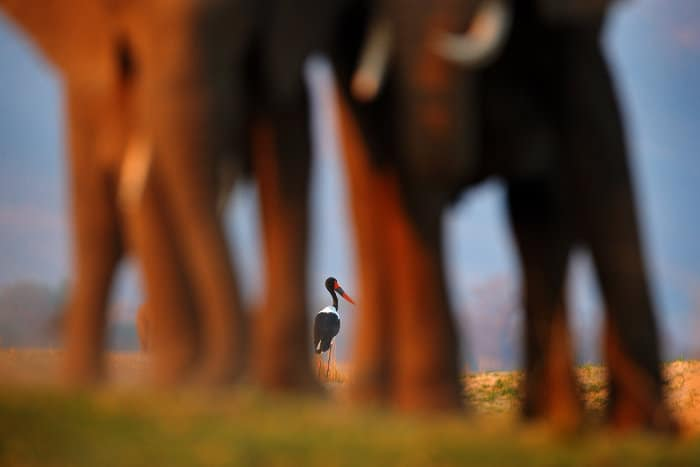 Focus on a saddle-billed stork, with two elephants in the foreground