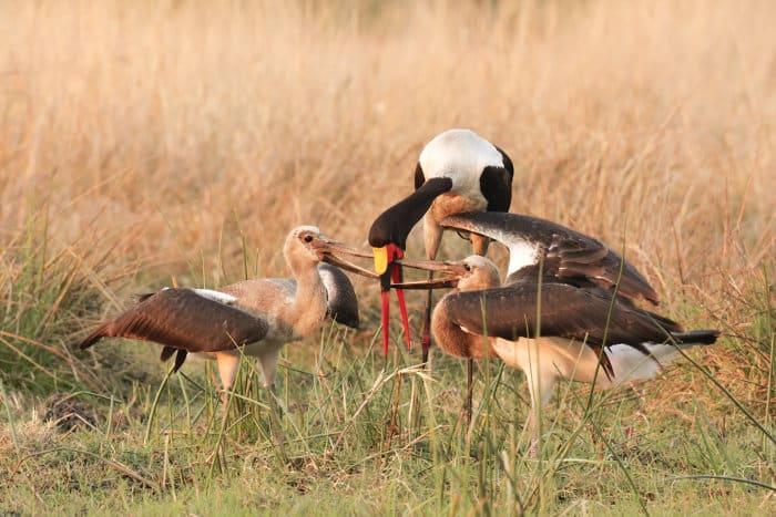 Saddle-billed stork feeding its young