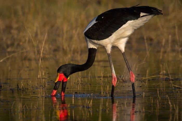 Saddle-billed stork looking for fish