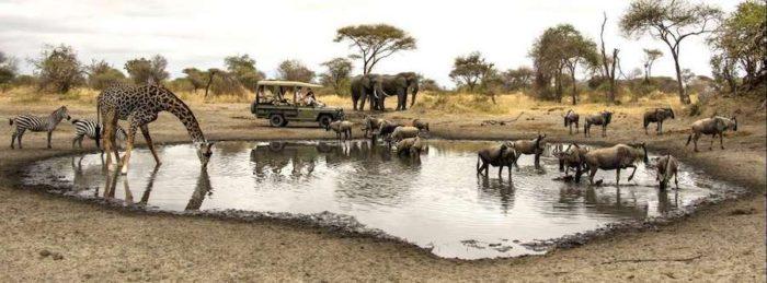 Giraffe, zebra, wildebeest and elephants drinking at a local waterhole