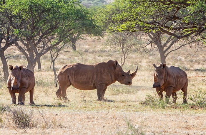 Herd of three white rhinos resting by a tree