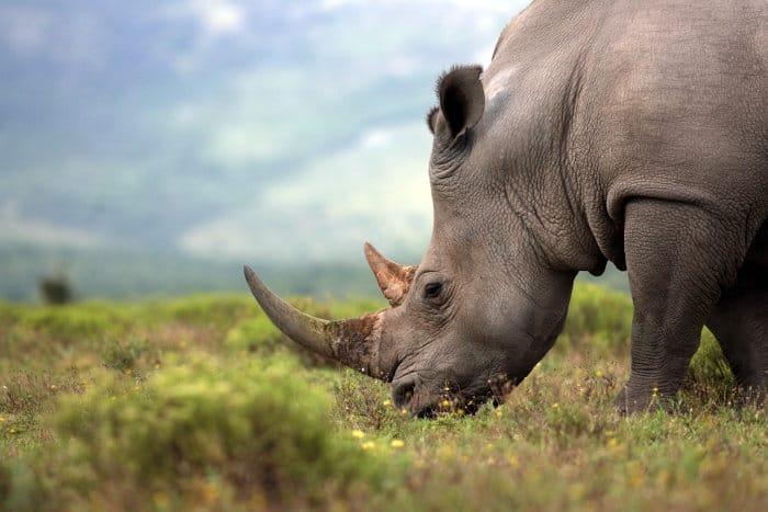 White rhino grazing, featuring its beautiful horns