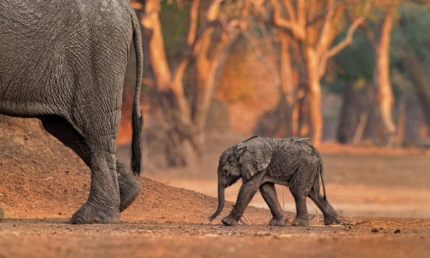 What is a baby elephant called? Africa's cutest land animal
