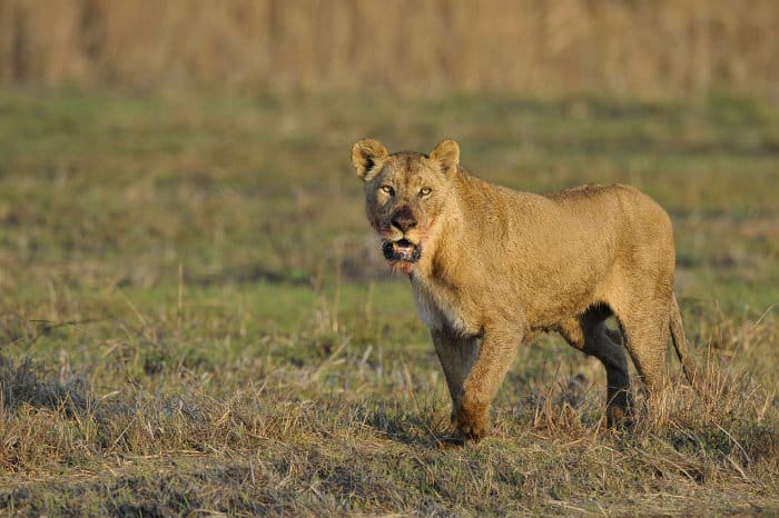 Lioness with bloody face, Zambia