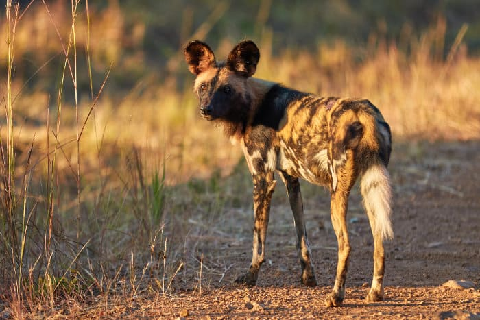 An endangered African wild dog in Kafue National Park, Zambia