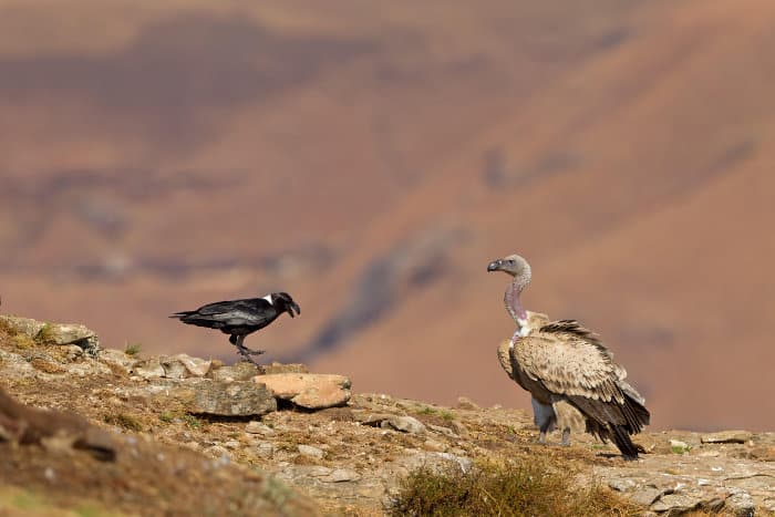 Cape vulture and white-necked raven on a cliff, South Africa