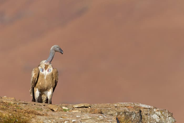 Cape vulture standing on the edge of a cliff, KwaZulu-Natal