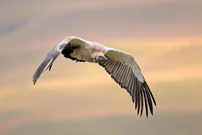 Endangered Cape vulture in flight, South Africa