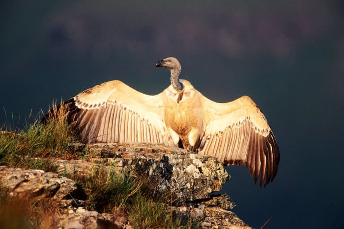 Cape vulture sunning, with wings stretched out