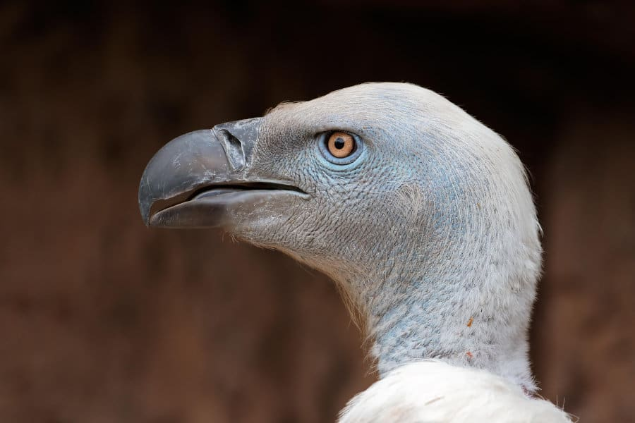 Cape vulture – All you need to know about nature's cleanup crew