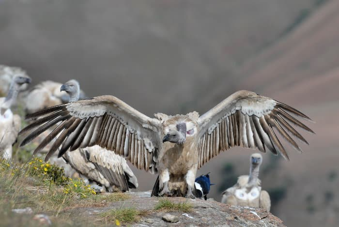Colony of Cape vultures in the Drakensberg, South Africa