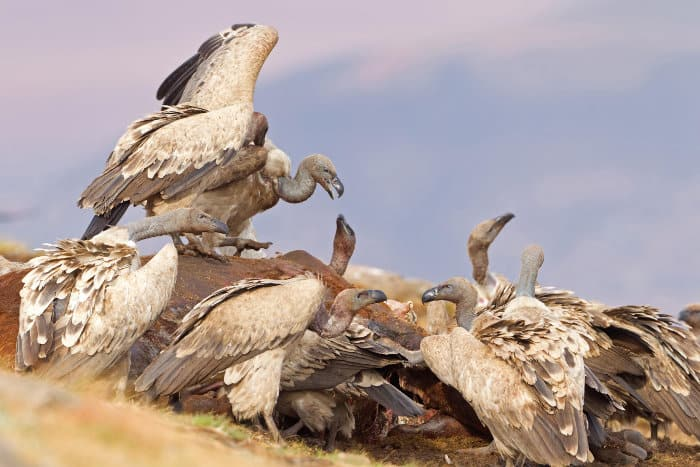 Cape vultures feeding on a carcass, Giant's Castle, South Africa
