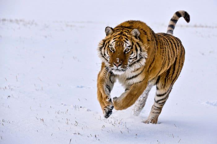 Siberian tiger running in the snow