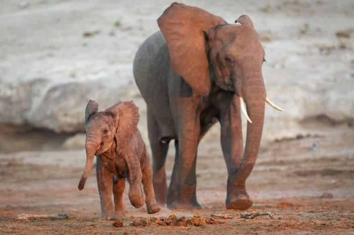 Baby elephant having fun along its mother, Chobe, Botswana