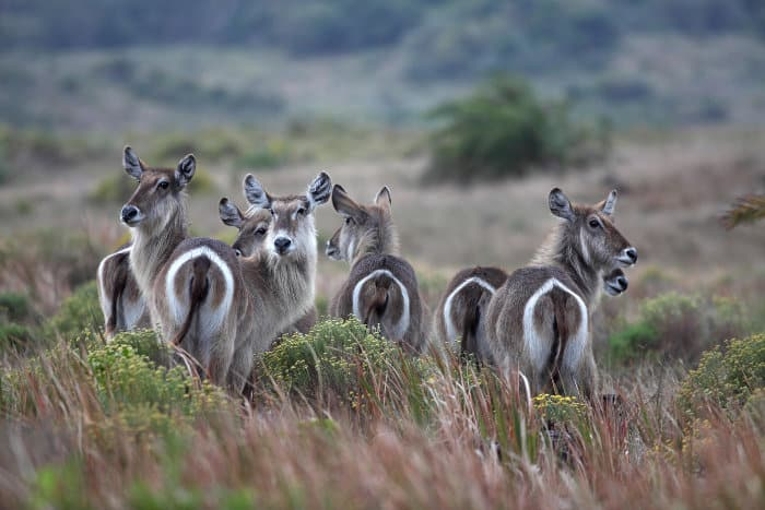Common waterbuck have a distinctive elliptical white ring on their bum