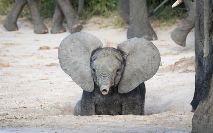 Funny baby elephant playing, Chobe National Park