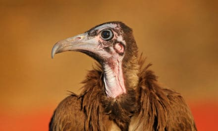Meet the hooded vulture – The scavenger's diet, habitat, and fun facts