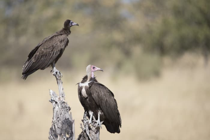 Perched hooded vultures around a Cape buffalo kill, Botswana