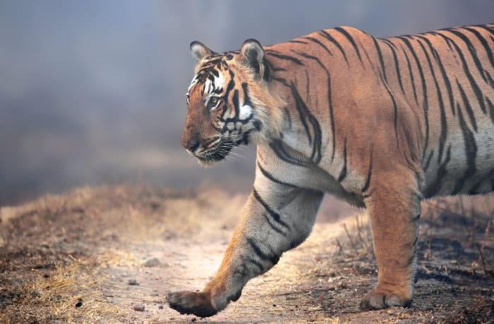 Huge Bengal tiger in Bandipur National Park, India