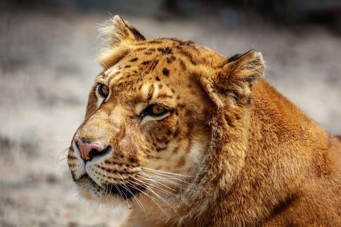 Female liger head portrait, Novosibirskiy Zoopark, Russia