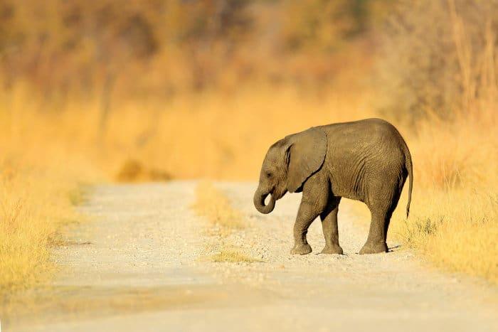 Lone baby elephant on gravel road, Chobe