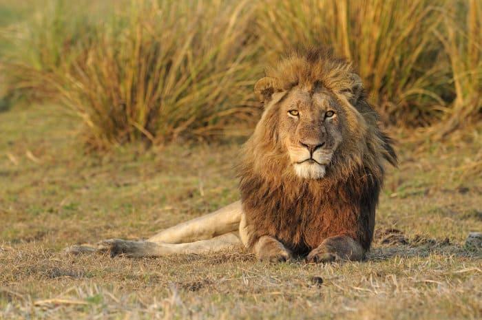 Majestic male lion resting on the Busanga Plains, Kafue