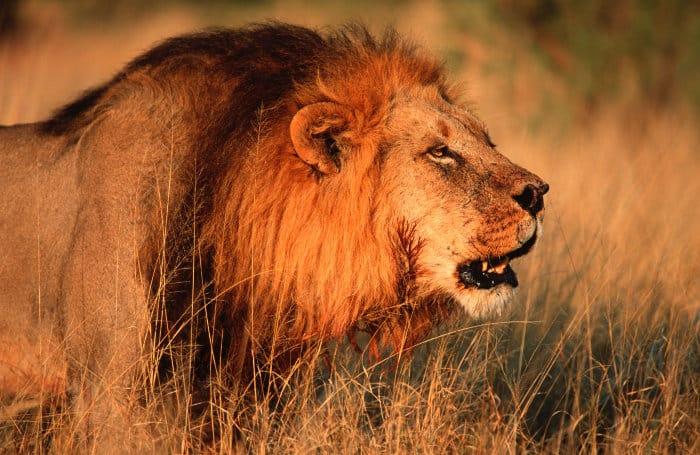 Huge male lion roaring, Chobe National Park, Botswana