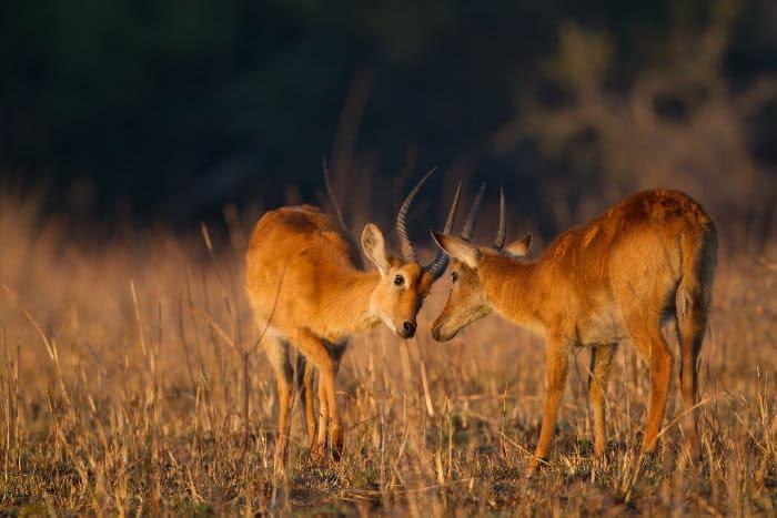 Male puku antelope fighting