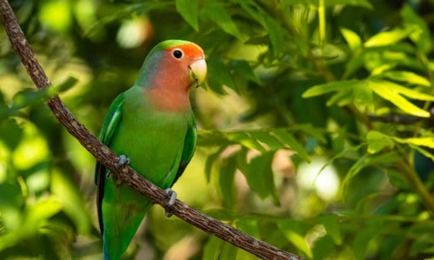Rosy-faced lovebird – 11 facts about the peachy lovers