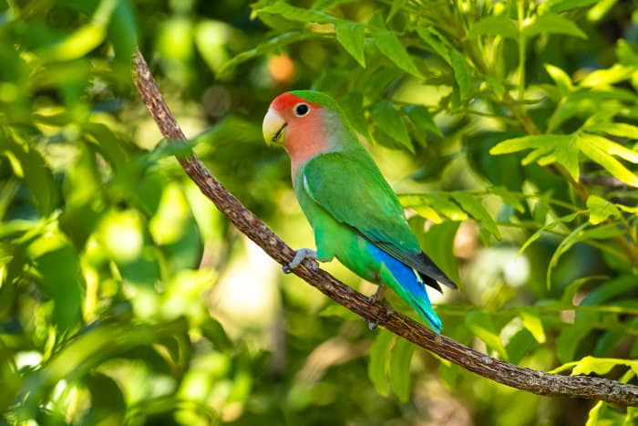 Rosy-faced lovebird perched on a branch, Namibia