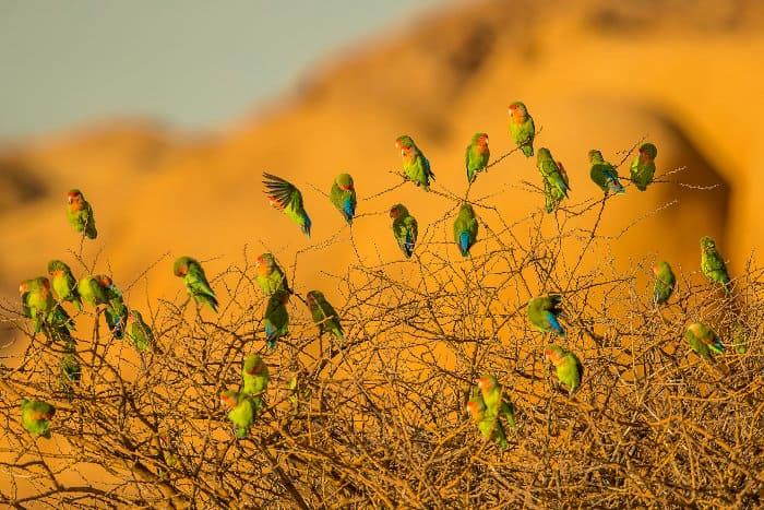 Flock of rosy-faced lovebirds in a thorny bush