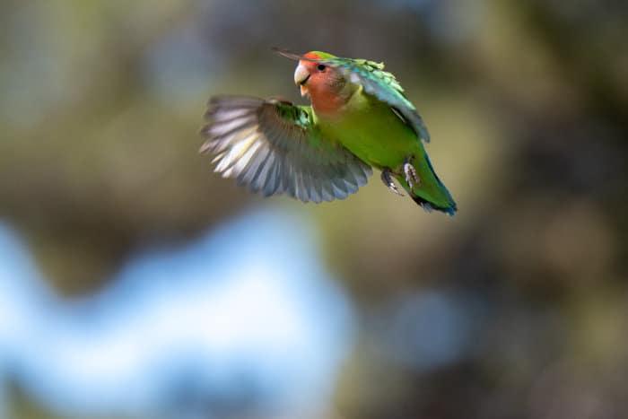 Rosy-faced lovebird in flight