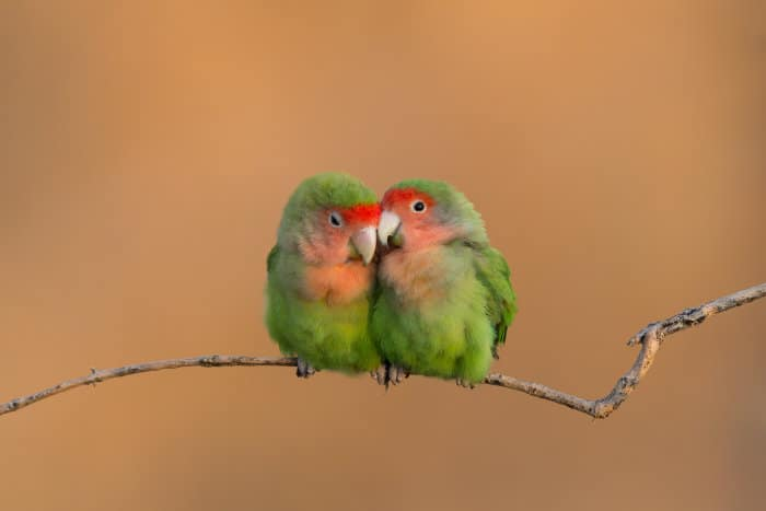 Pair of rosy-faced lovebirds showing some affection, Erongo Mountains, Namibia