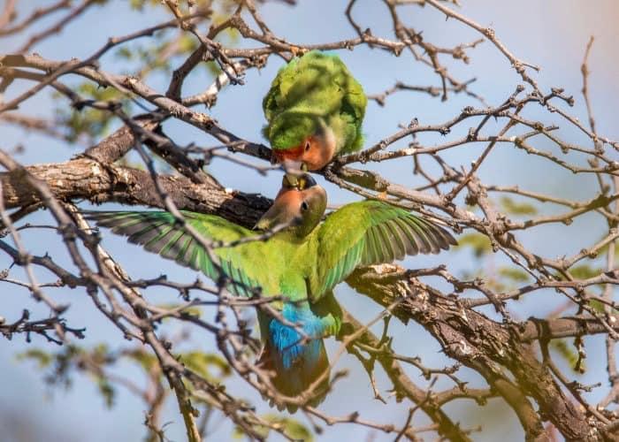 Rosy-faced lovebirds feeding each other
