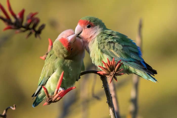 Pair of rosy-faced lovebirds exchanging a tender kiss