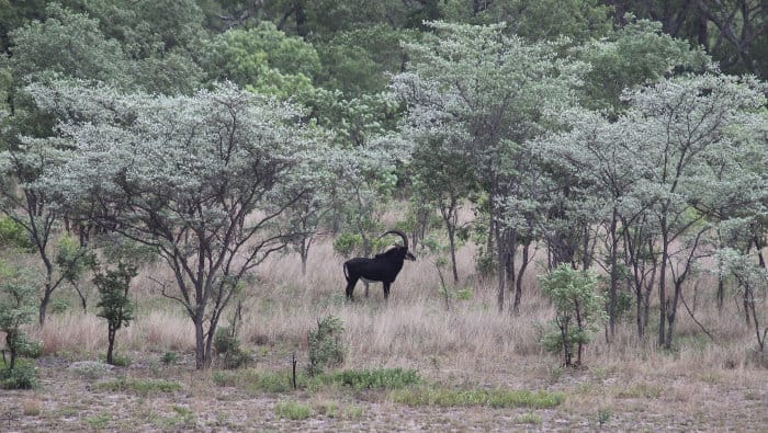 Lone male sable antelope in the Kafue