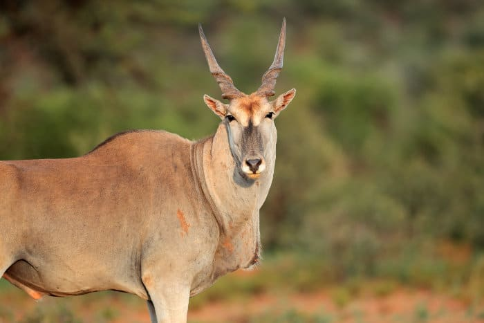 Large male common eland with spiral horns