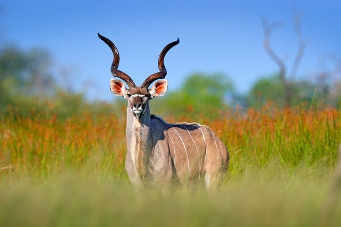 Majestic male greater kudu with spiral horns