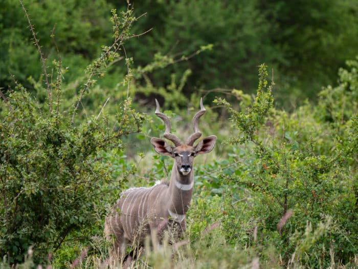 Male lesser kudu with long spiral horns