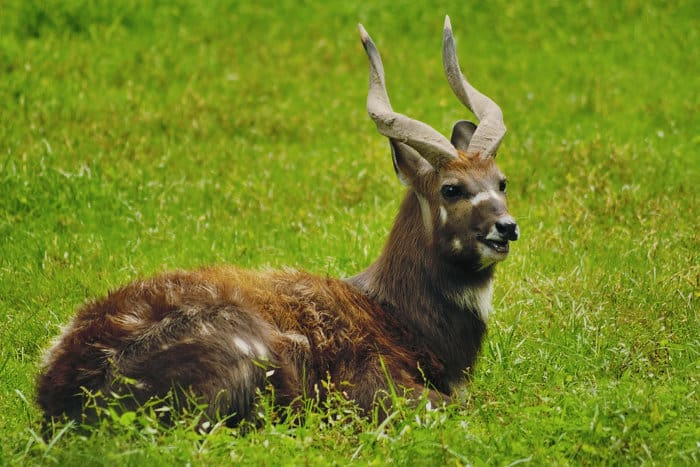 Male sitatunga with spiral horns